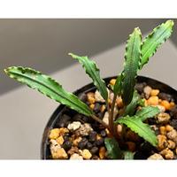 """Bucephalandra sp. """"Mangat"""" [MF0417-2A]"""