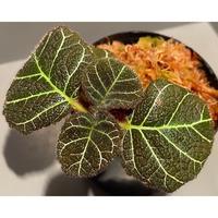 Pearcea hypocyrtiflora from Napo Ecuador [tanakay]