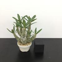 Pachypodium rosulatum パキポディウム ロスラーツム