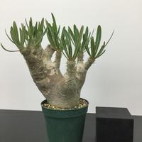 Pachypodium inopinatum パキポディウム イノピナツム