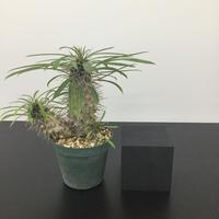 Pachypodium lamerei パキポディウム ラメリー