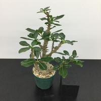 Pachypodium baronii var.windsorii パキポディウム ウィンゾリー