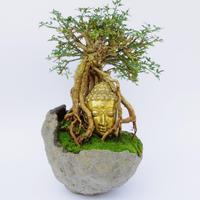 【仏像盆栽】オウバイ(黄梅)