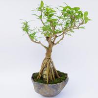 【仏像盆栽】ザクロ
