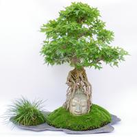【仏像盆栽(大型)】カエデ