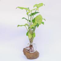 【アクア盆栽】シンゴニウム