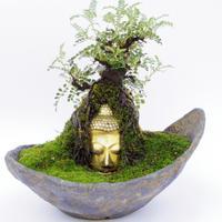 【仏像盆栽】イソザンショウ