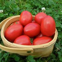 自然栽培 料理が上手になるトマト「Oh!ロメオ」