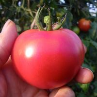 【限定100】40歳からの大人のトマト「自然栽培 完熟大玉」