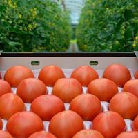 こだわりフルーツトマト(約2.5~3kg)【1〜3箱ご注文はこちら!】    発送は6月以降になります。