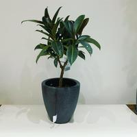 【観葉植物】フィカス・バーガンディー(小葉)