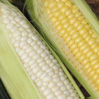 【10本セット】黄白食べ比べ とうもろこしハーフ&ハーフ
