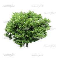 鳥瞰樹木    Bird-eye_41-ホルトノキ-ElaeocarpusSylvestris