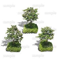 鳥瞰3本樹木    Bird-eye_05  - ヤマボウシ-JapaneseFloweringDogwood
