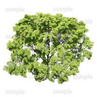 鳥瞰樹木    Bird-eye_47-シラカシ-Bamboo-LeafedOak