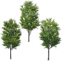 3本樹木(アイレベル) カツラ 23_016