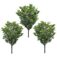 3本樹木(アイレベル) サクラ 23_020