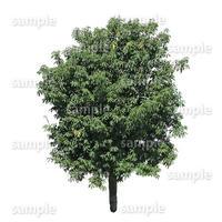 鳥瞰樹木    Bird-eye_38-シラカシ-Bamboo-LeafedOak