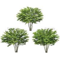 3本樹木(アイレベル) イヌシデ 23_008