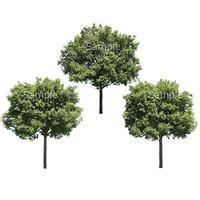 3本樹木(アイレベル) シラカシ 23_021