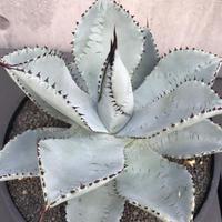 """Agave Pygmaea """"Dragontoes""""  5"""