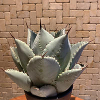 Agave Pygmaea Dragontoes 3