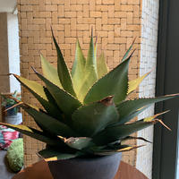 Agave  Shawii  traditional form