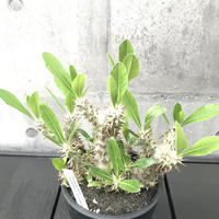 Pachypodium rosulatum v.horombense