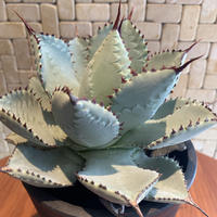 "Agave  Pygmaea  ""Dragontoes"" 1"