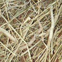 北海道産無農薬チモシー 令和元年度一番刈り (500g)