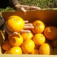 わかまつ農園 農薬・化学肥料不使用の甘夏10kgパック