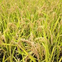 無農薬合鴨農法米(白米)コシヒカリ 5kg