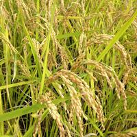 自然栽培米(無農薬・無肥料・無堆肥)玄米30kg