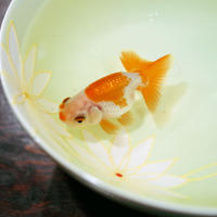 【有田焼】花・フレッシュグリーン~「どんぶり金魚」オススメ・最適どんぶり~