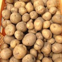ほっくほくのジャガイモ(キタアカリ)