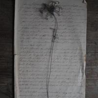 une fleur -flannel flower  -