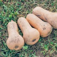 【4個入り約4キロ】信州伊那谷のやまとわが無農薬で栽培したバターナッツ