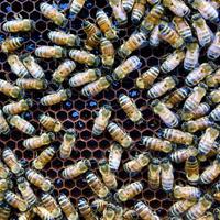 【2021年百花蜜】六甲山麓船坂産百花蜂蜜大容量500ml