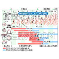 妊娠週数を表している図解_イラスト図解