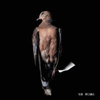 キジバト(雉鳩)【送料着払い】