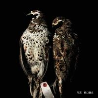 エゾライチョウ(蝦夷雷鳥)【送料着払い】