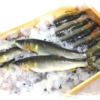 【冷凍】料亭級・皇室献上御料場付近  / 天然鮎  1箱