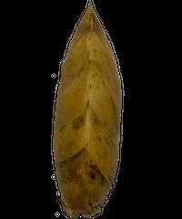 早掘り筍12月~2月「サイズ:小 ・ 130~200g/本 (1㎏)」