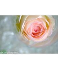 グラスの中のバラ