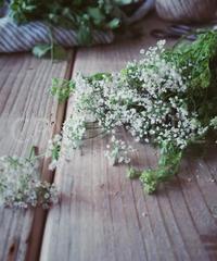コリアンダーの花②