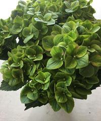 アンティークグリーンの紫陽花の鉢植え ラッピング、送料込み