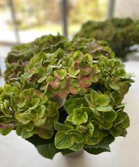 紫陽花鉢植え  グリーン&ワインアンティークカラー  ラッピング、送料込み50センチ