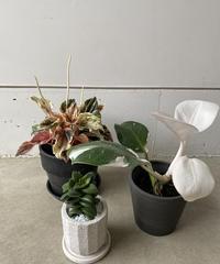 観葉植物3点セット(ぺぺロミア)送料込み