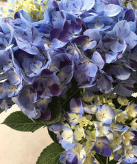 紫陽花 水色の恋 ラッピング、送料込み