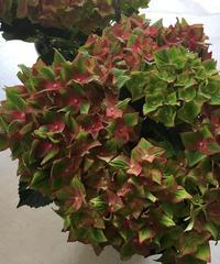 レッドグリーン系アンティークカラーの紫陽花 ラッピング送料込み